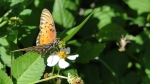 Hawaii Butterfly